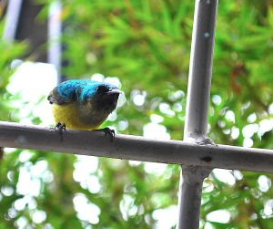 Sunbird tapping at the window