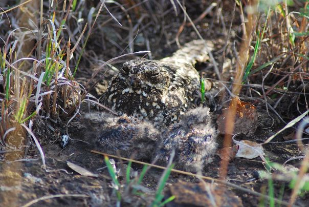 Montane Nightjar or Dusky Nightjar?