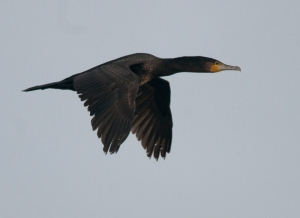 Cormorant, Pett Level