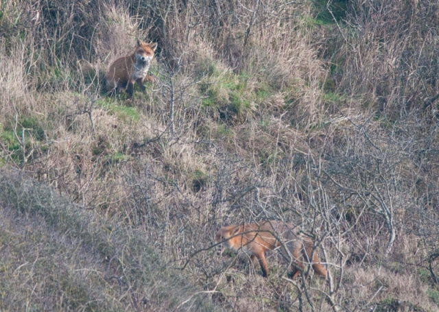 Foxes, Fairlight
