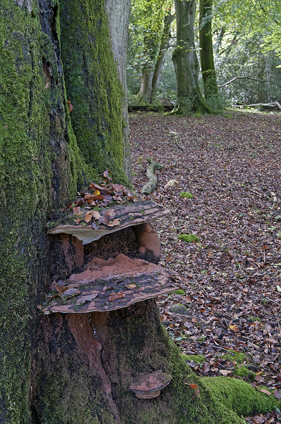 Artists fungus: Ganoderma applanatum. On Beech tree. Sussex, England, October