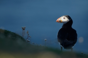 Puffin at first light