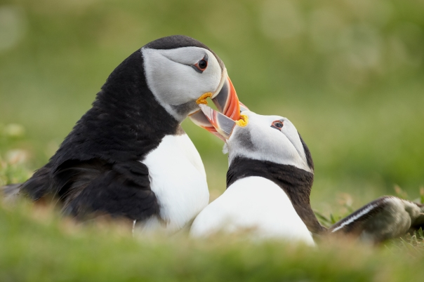 Puffins fighting