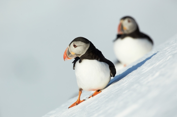 Puffins in snow