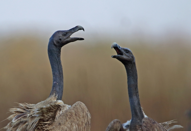 Two adult Slender-Billed Vultures squabbling