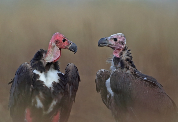 Adult and sub-adult Red-Headed Vulture