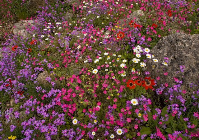 The Mani peninsula in spring - stunning display of flowers. Calabrian soapwort (magenta), peacock anemone (scarlet), stocks, cranesbills