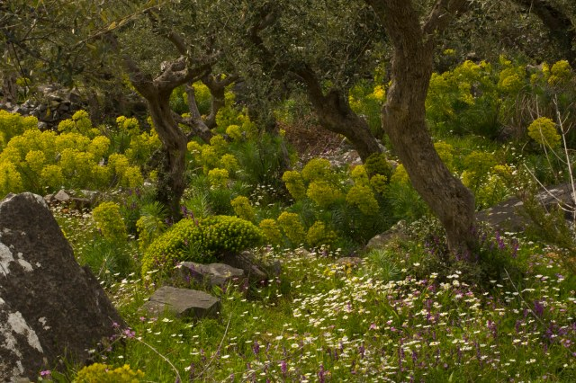 Flowery old olive groves in spring on the  Mani Peninsula, Peloponnese, south Greece.