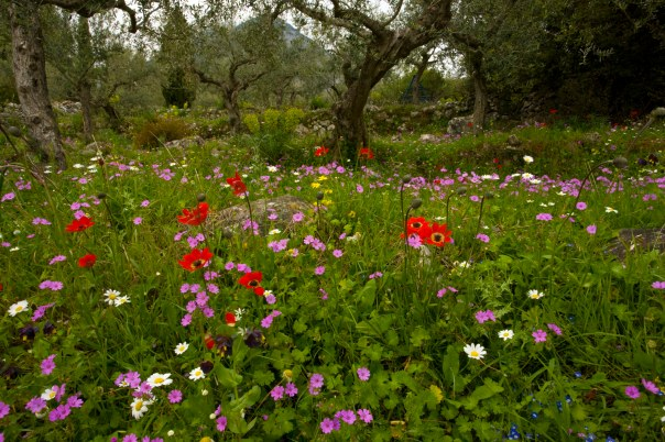 Beautiful flowery old olive groves in spring, with Peacock Anemone, cranesbill etc on the  Mani Peninsula, Peloponnese, south Greece.