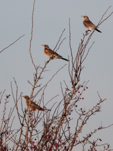 Fieldfares, Rainham