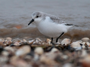 Sanderling, Shellness