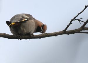 Waxwing, Pitsea, Jan 2011