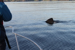 Basking shark passes boat CE