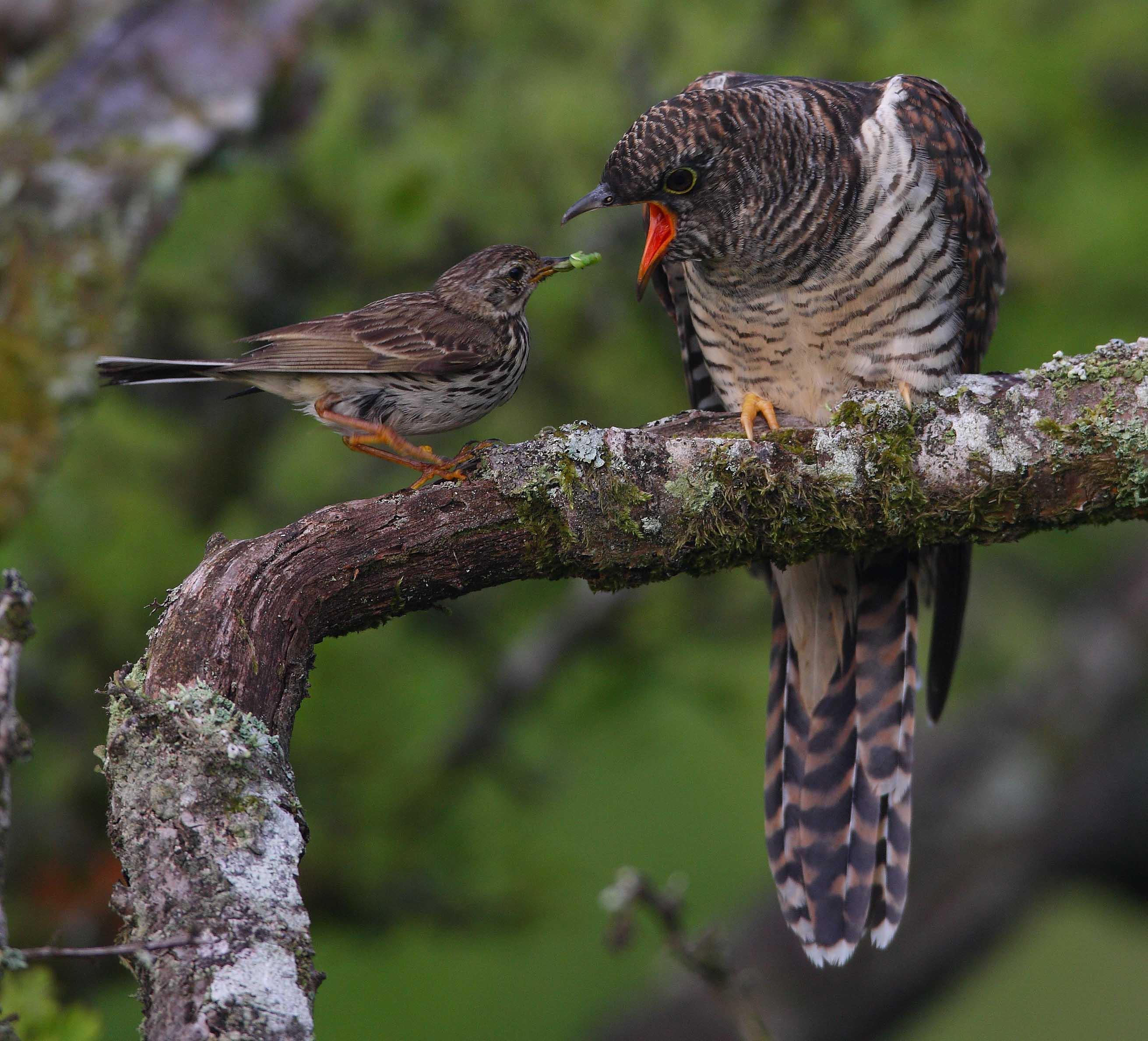 cuckoo harbinger of spring and cheat bloomsbury wildlife