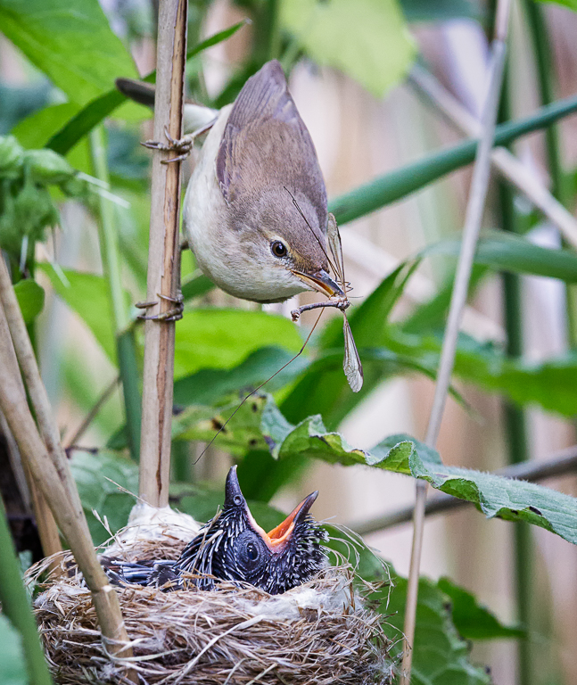 Reed Warbler (Acrocephalus scirpaceus) feeding Common Cuckoo (Cu