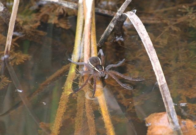 fen raft spider ce