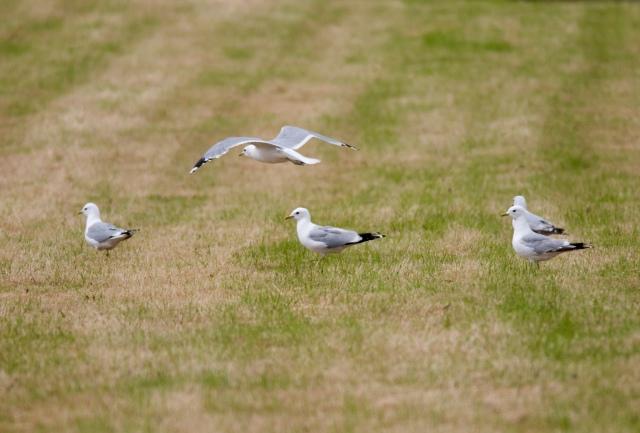 common-gulls-mt