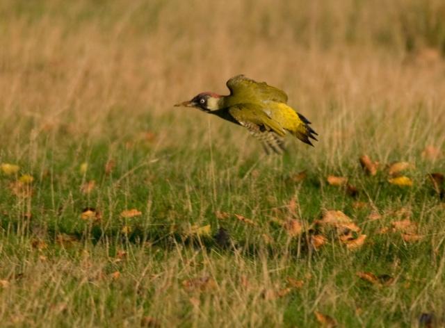 green-woodpecker-mt