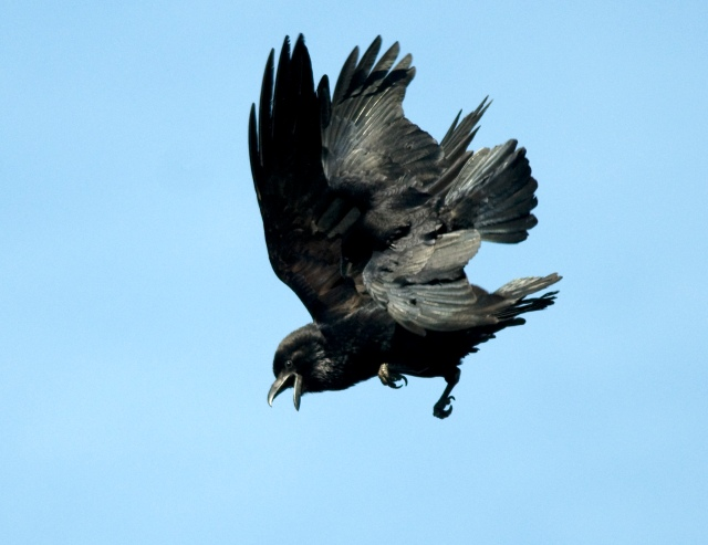 raven-and-carrion-crow-mt