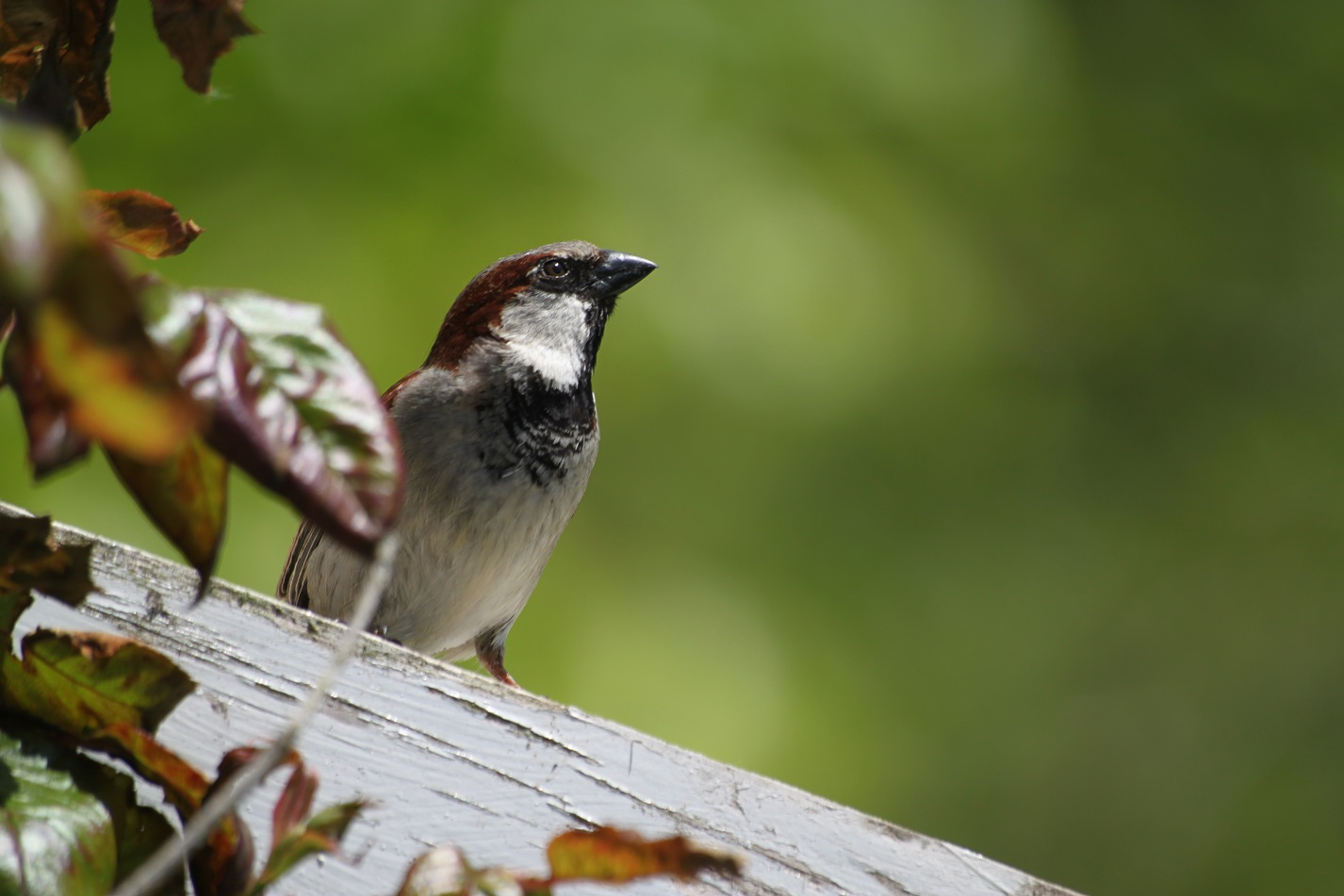 One Thing Big Garden Birdwatch Has Shown Is That Our Abundant Species Can Never Be Taken For Granted The Humble House Sparrow May Consistently Top